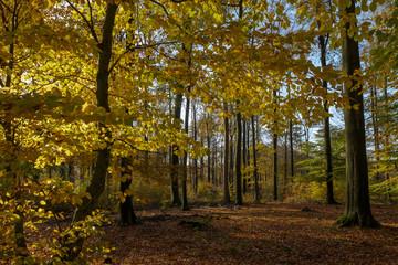 Herbstlicher Buchenwald (Fagus)