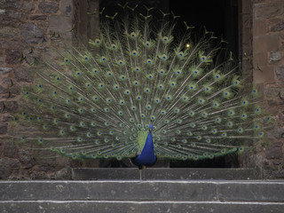 Peacock displaying at the entrance of a castle