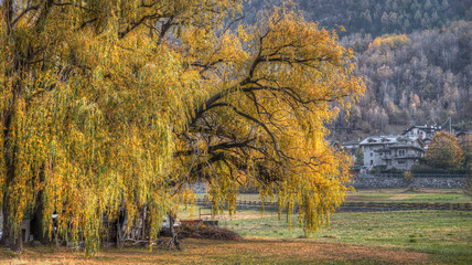 view, big tree, willow weeping in autumn yellow