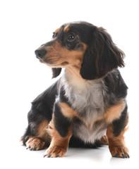 miniature dachshund sitting