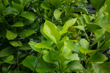 leaf of citrus limon ideal from background