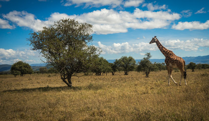 Giraffes in Masai Mara safari park, Kenya, Africa