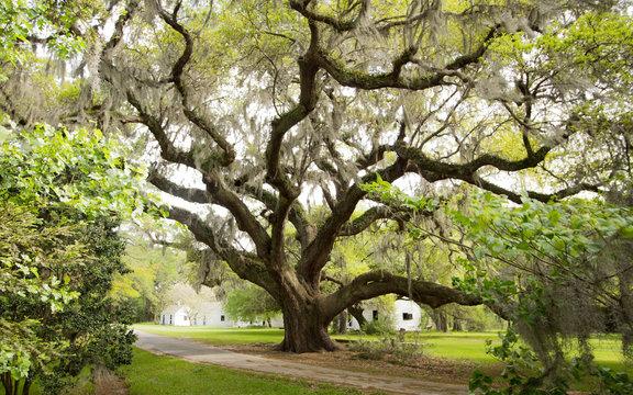 A Mighty Oak at Magnolia Plantation