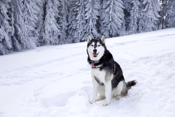 Beautiful Husky dog on snow in the mountains