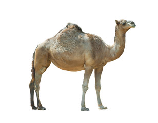 Tuinposter Kameel Isolated camel (dromedary) over a white