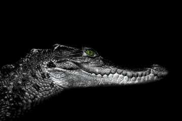 Crocodile: portrait on black