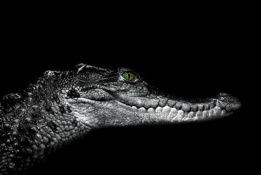 Crocodile: portrait on black