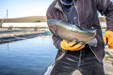Trout breeding in pond farming