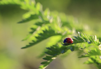 At sunset.The bug the Ladybug prepares for flight standing on the edge of a leaf.
