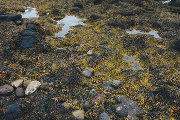 Seaweed On Icelandic Coast
