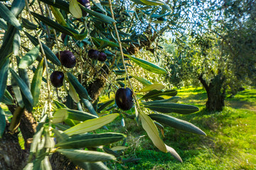 Close up of olives on an olive branch ready to be harvested