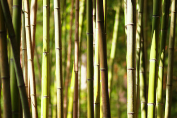 Bamboo thickets in a summer sunny day. The nature of China.