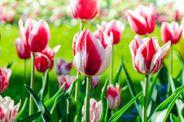 Beautiful triumph tulip flowers in Keukenhof park in Netherlands (Holland)