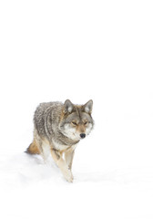 A lone Coyote isolated against a white background standing in the winter snow in Canada