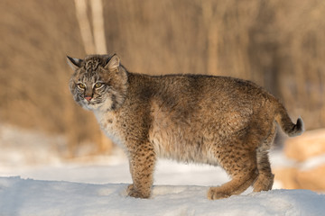 Tuinposter Lynx Bobcat (Lynx rufus) Stands Looking Out