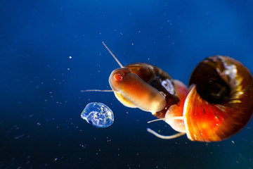 small aquarium snail mom and her offspring in eggs caviar in blue water