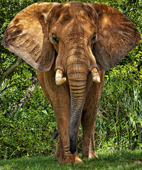 African Elephant Close-Up