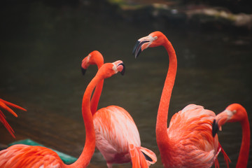 A group of pink flamingos hunting in the pond, Hong Kong, China, Kowloon Park, Oasis of green in urban setting, flamingo