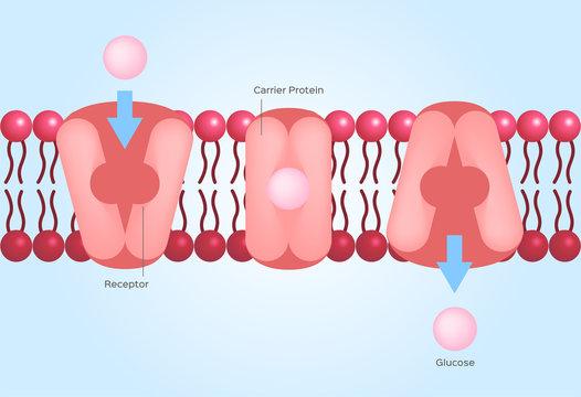 Facilitated diffusion or facilitated transport / cell anatomy