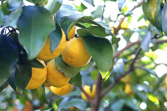 Yuzu tree - Japanese Citrus -