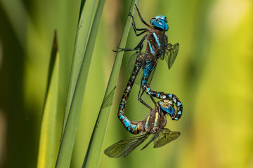 two blue dragonflies mating on the leaf under the sun