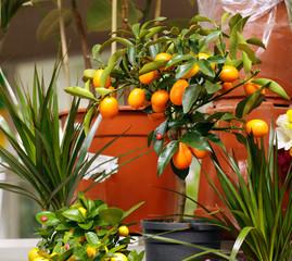 fresh organic mandarins with green leaves
