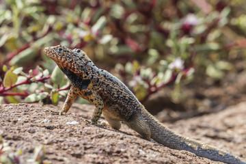 Male lava lizard (Microlophus spp), on North Seymour Island, Galapagos, UNESCO World Heritage Site, Ecuador, South America