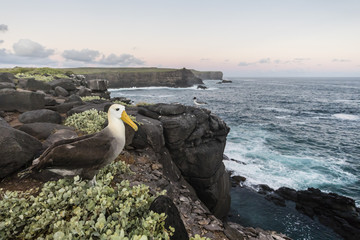 Adult waved albatross (Phoebastria irrorata), on Punta Suarez, Isla Espanola, Galapagos, UNESCO World Heritage Site, Ecuador, South America