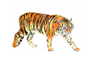 Thi is realistic sketching of wild tiger. It is colour illustration where the tiger is moving. It is sketch on the paper.