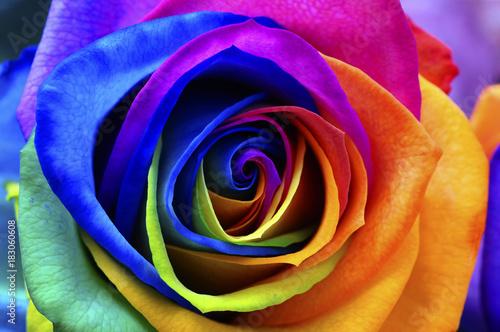 Fototapete Rainbow rose or happy flower