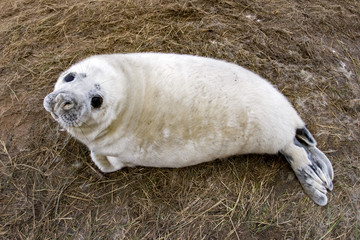 grey seal puppy while relaxing on the beach in Great Britain