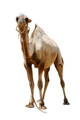 camel bicornic bald cut on white background
