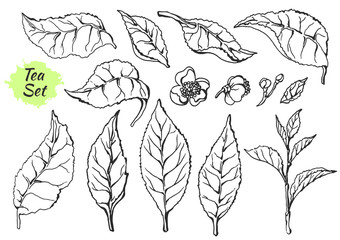 Set of parts branches of tea bush. Sketch. Nature. Organic product. Vector