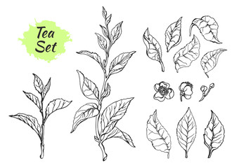 Set of tea bush branches with leaves. Vector