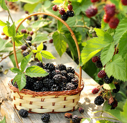 Fresh blackberries in a wicker basket, just picked from the garden