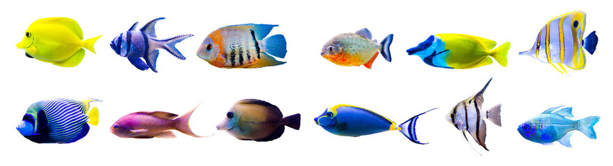 Aluminium Prints Under water Tropical fish collection isolated on white