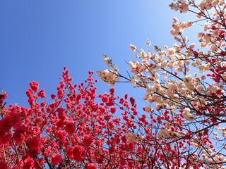 桃桜梅 花