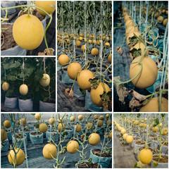 Melon fruit farm, Agriculture