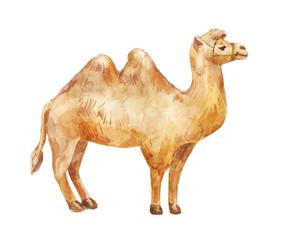 Hand drawn illustration of camel on white background.