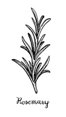 Ink sketch of rosemary.