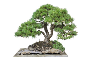 Foto op Plexiglas Bonsai Bonsai of a pine in pot