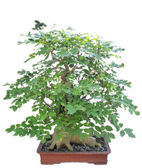 Bonsai from a Japanese web maple