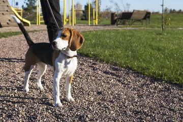 Beautiful and cute beagle dog