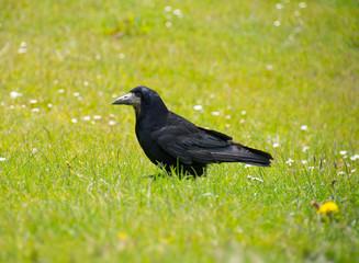 Rook on garden lawn