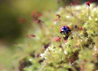 Among the green mosses.Among the yellow-green moss wanders a little bug ladybug.