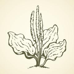 Plantain. Vector drawing