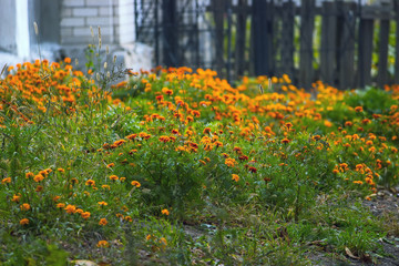 dirty marigold flowers in the street