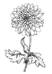 Garden dahlia. Graphic the branch flowering Dahlia, close-up of flower with leaves. Black and white outline illustration hand drawn painting. Isolated on white background.