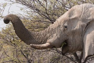 Elephant trunck eating acacia