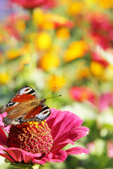 colored summer. butterfly sits on the flower
